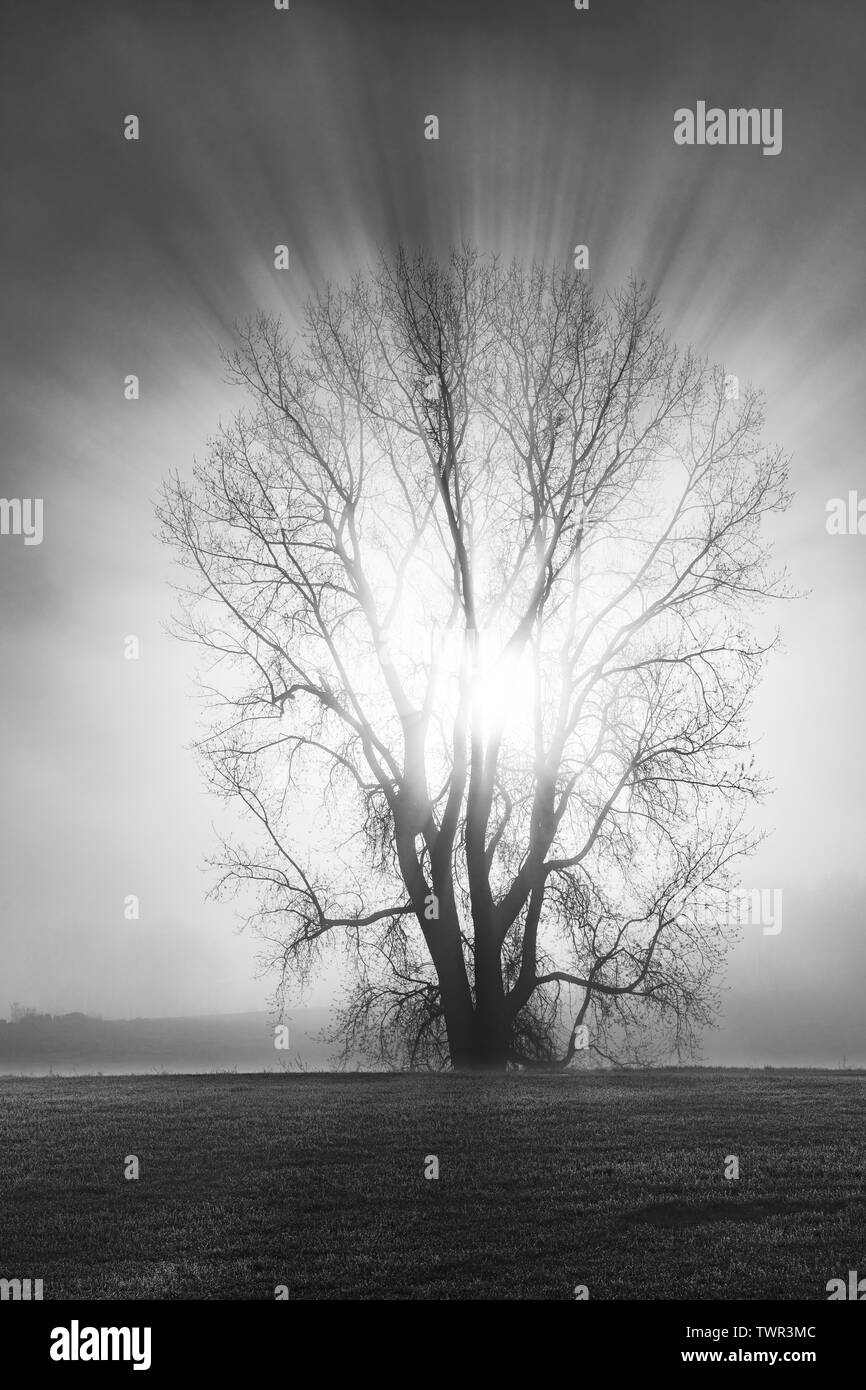 Sunrise and Silver Maple tree Acer saccharinum) shrouded in fog, early May, E USA, by Dominique Braud/Dembinsky Photo Assoc - Stock Image