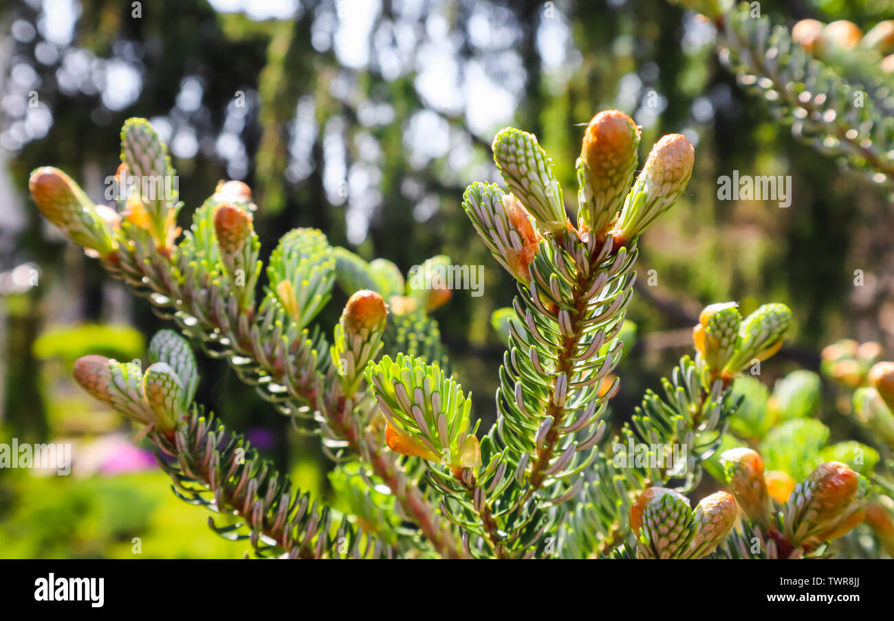A branch of Korean fir with young cone in spring garden - Stock Image