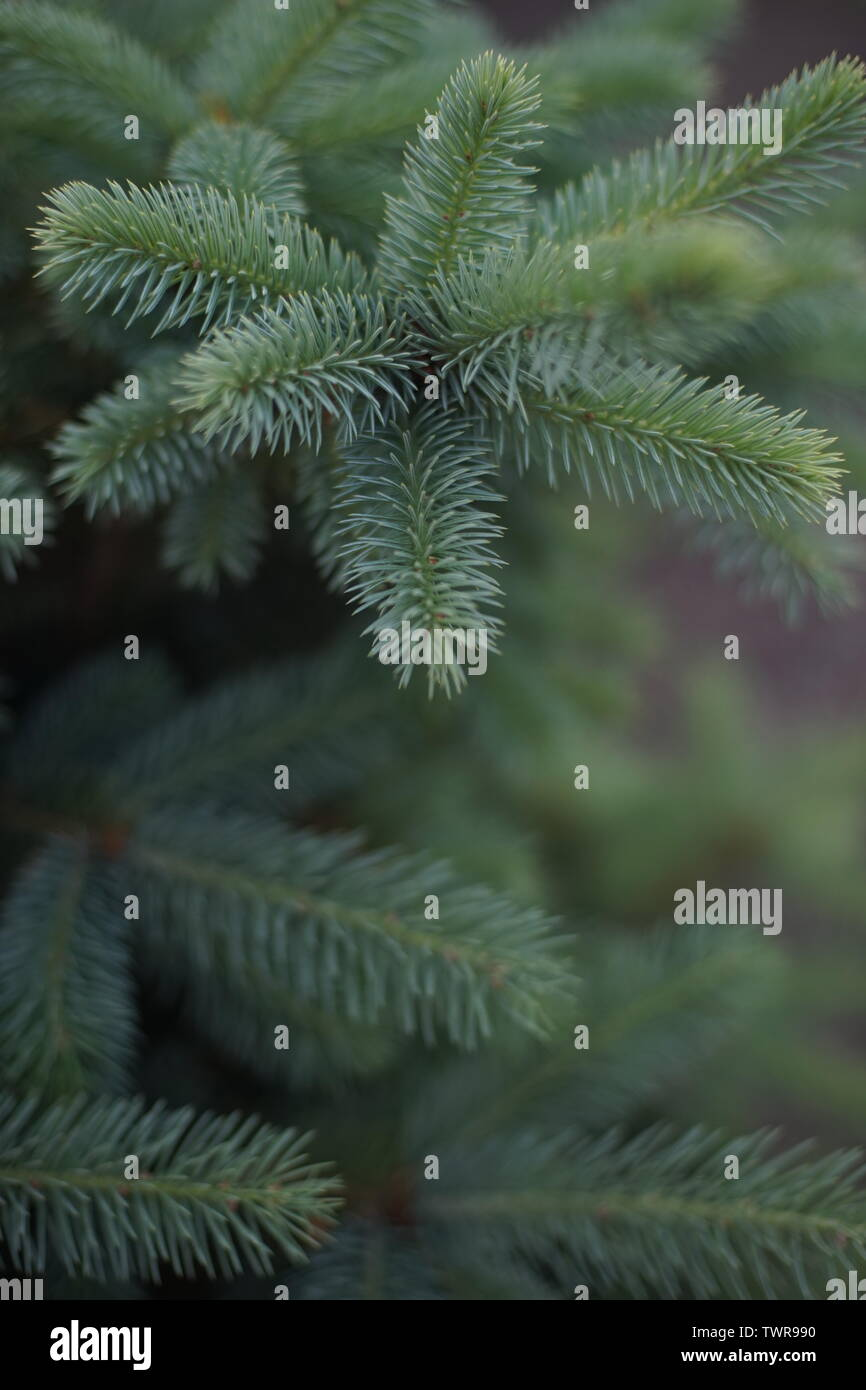 young fluffy spruce, close-up with smooth bokeh. - Stock Image