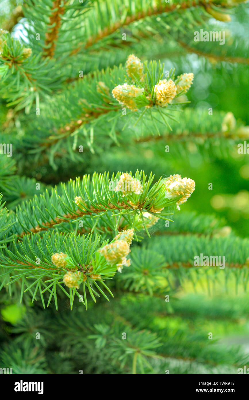 Detail of fresh spruce tree branches with young green needles. Closeup of fir tree young branches in summer day - Stock Image