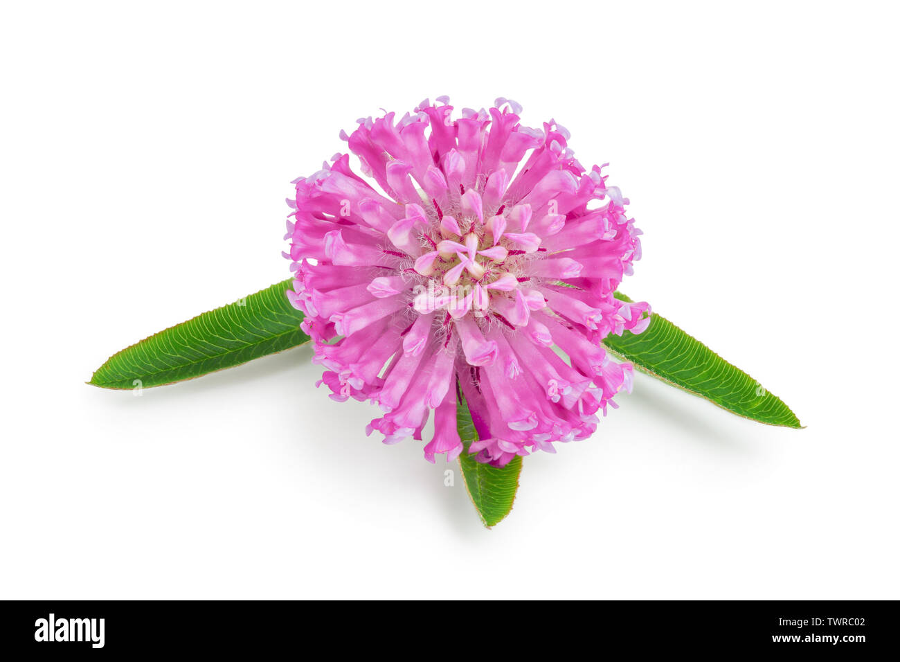 flower of a red clover clover with leaves close-up isolated on white background. - Stock Image