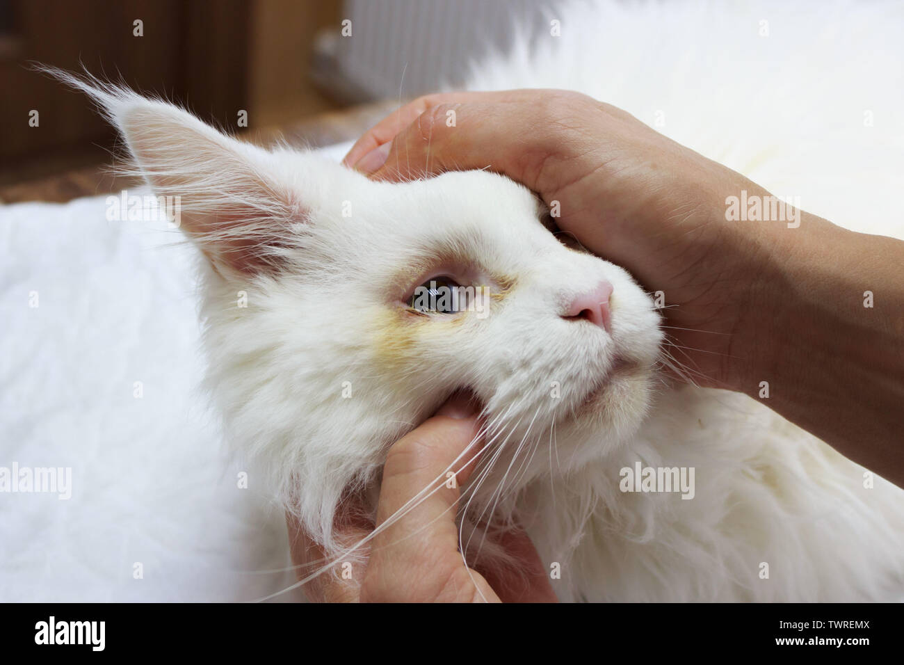 Inspection of a white young Maine Coon cat in front of surgical correction of congenital twisting of the eyelids. reportage shooting in veterinary Stock Photo