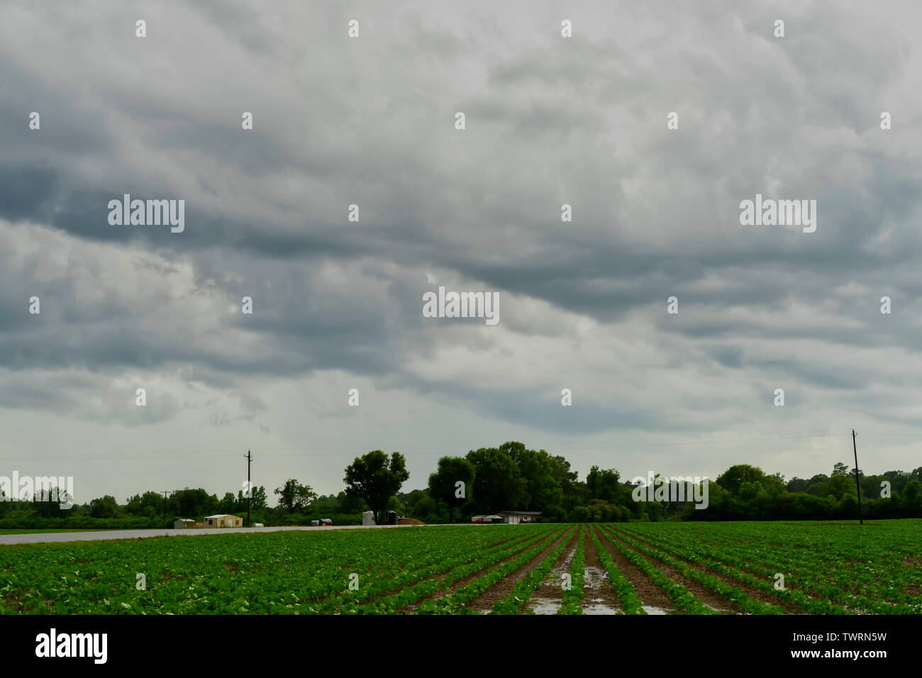Storm clouds moving over a cotton field in Vernon, Alabama. Stock Photo