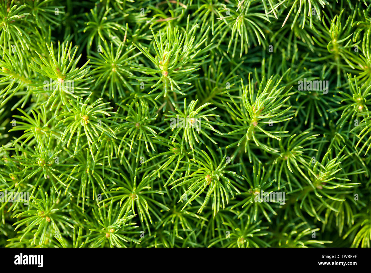 CloseUp of a leafs of a pine tree. All green photo. - Stock Image