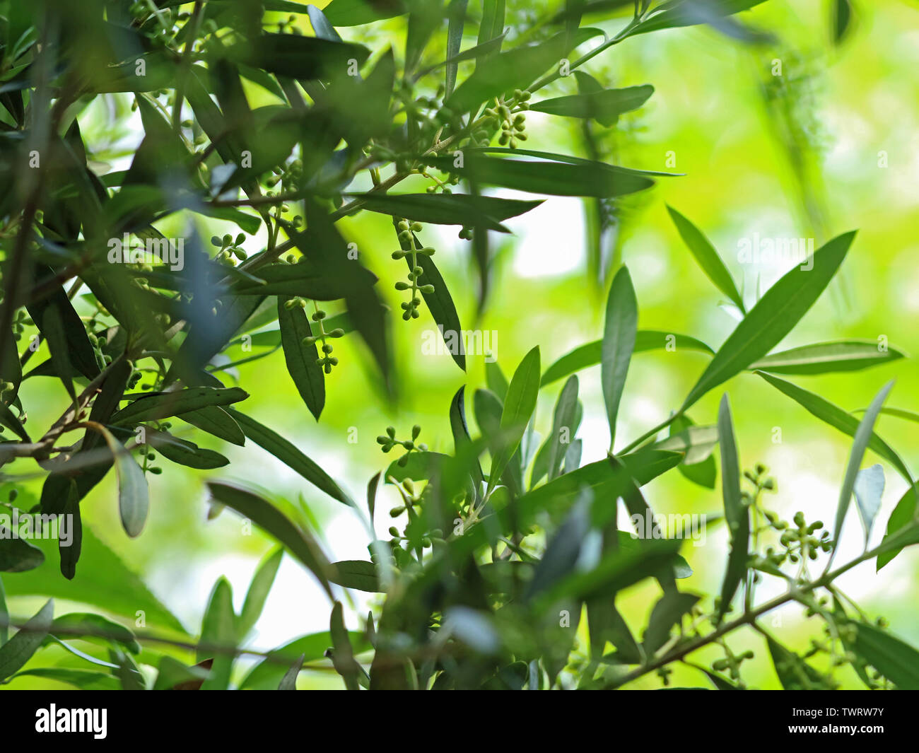 Olive tree blossoms with green bokeh, natural mediterran background. - Stock Image