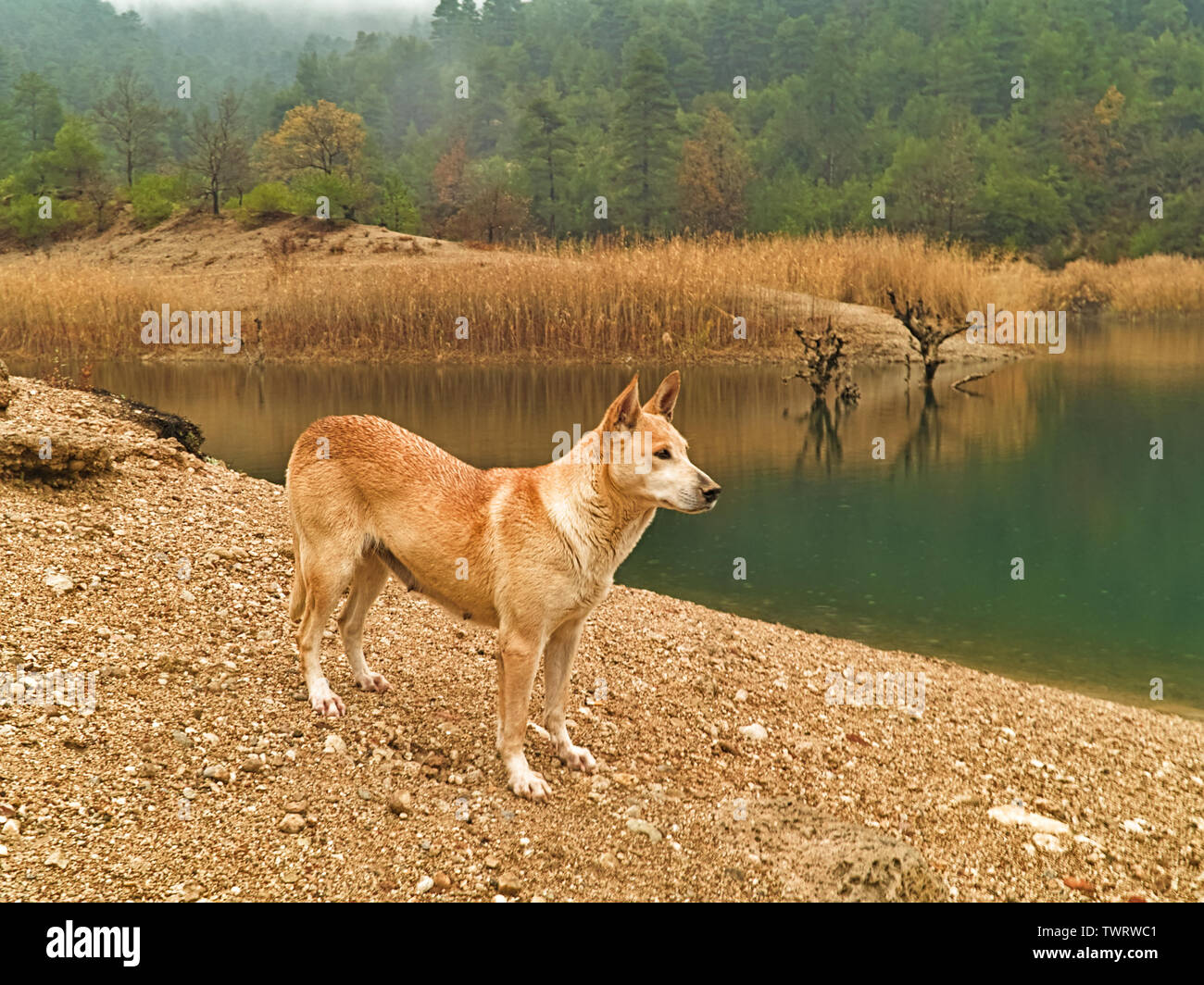 Beautiful stray dog on the banks of natural lake Tsivlou, Peloponnese Greece. - Stock Image