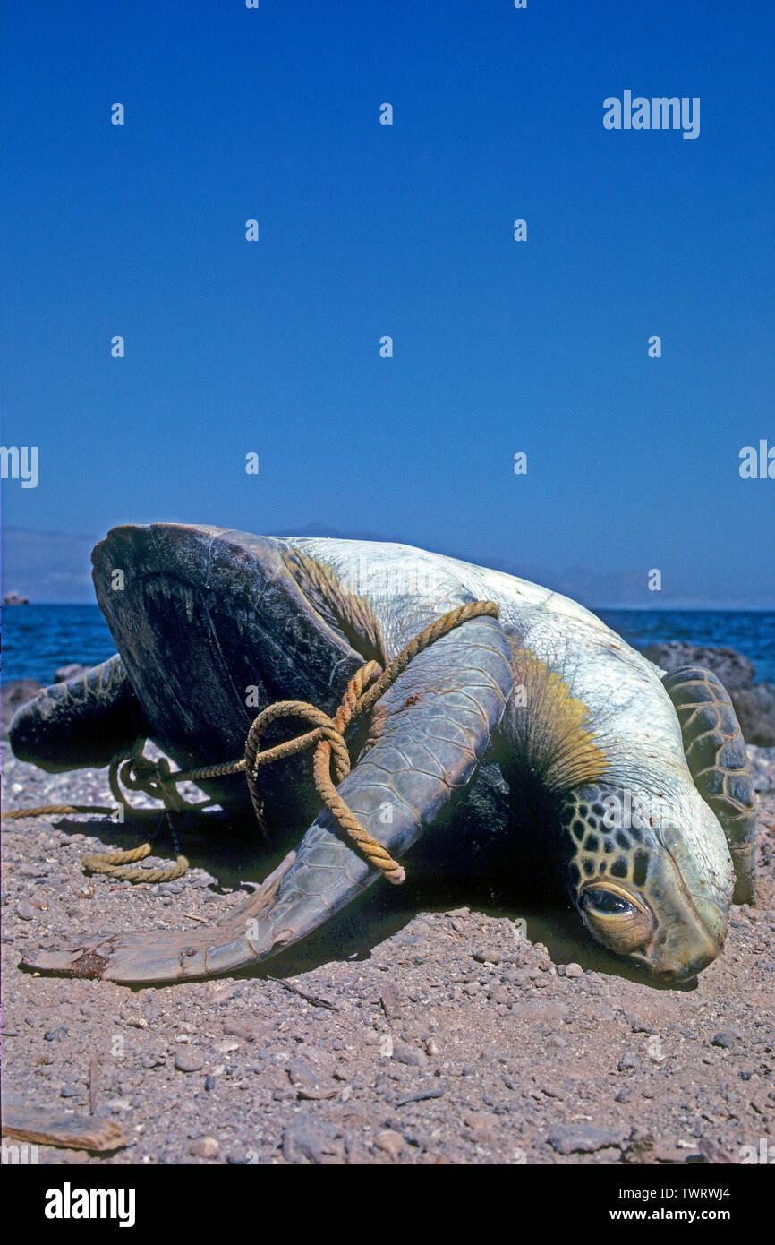 Angespülte Grüne Meeresschildkröte (Chelonia mydas) verfangen in einem Tampen und erstickt, Bali, Indonesien   Dead Hawksbill turtle (Eretmochelys imb - Stock Image