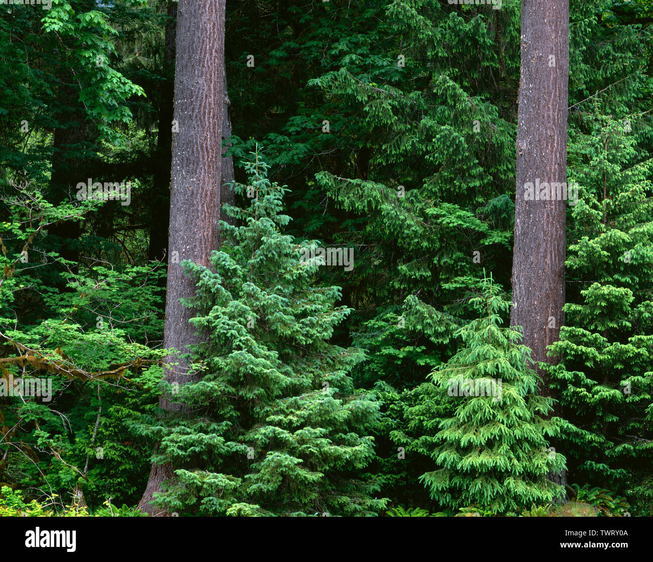 USA, Washington, Olympic National Park, Conifers and maples grow along edge of forest next to the Hoh River, Hoh Valley. - Stock Image