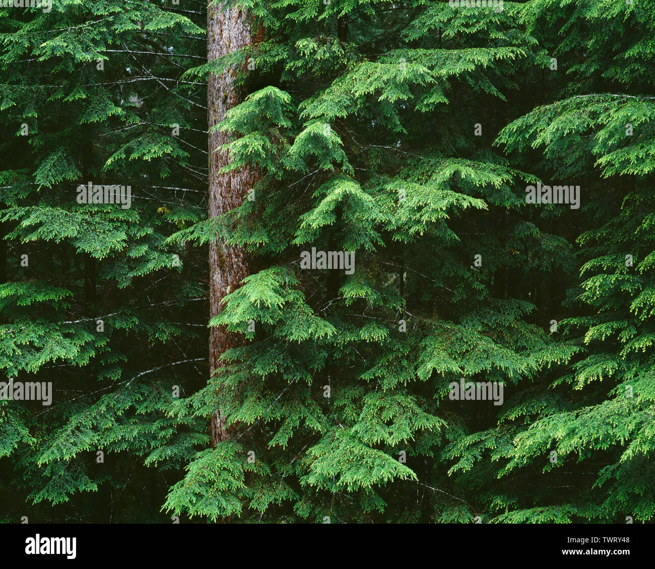 USA, Washington, Olympic National Park, Trunk and layered branches of  western hemlock (Tsuga heterophylla) in Sol Duc Valley. Stock Photo
