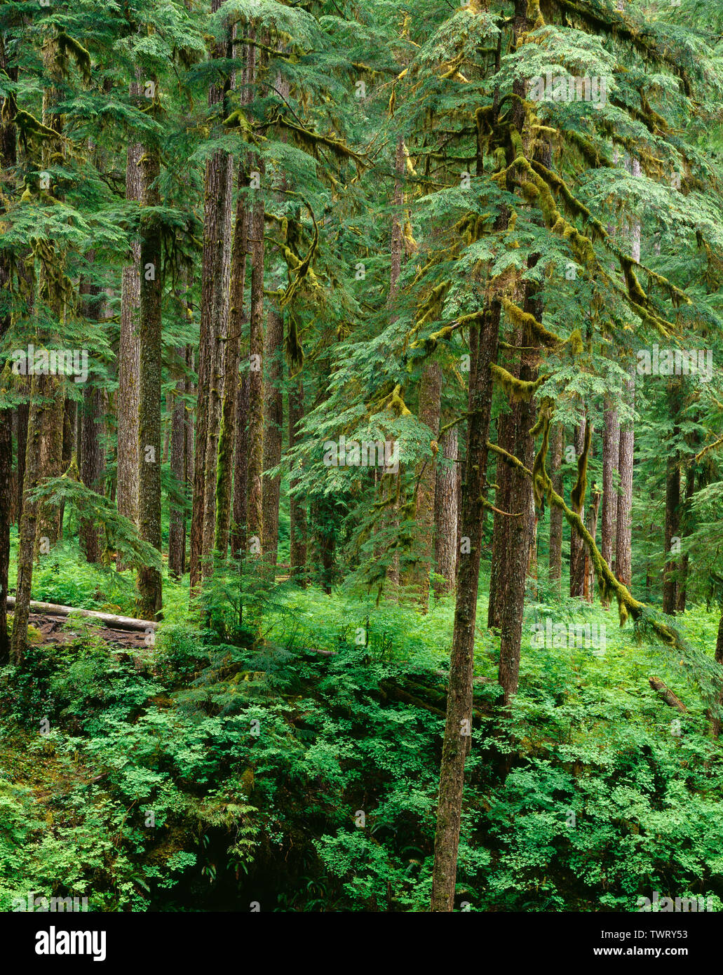 USA, Washington, Olympic National Park, Old growth forest of western hemlock (Tsuga heterophylla) in Sol Duc Valley. - Stock Image