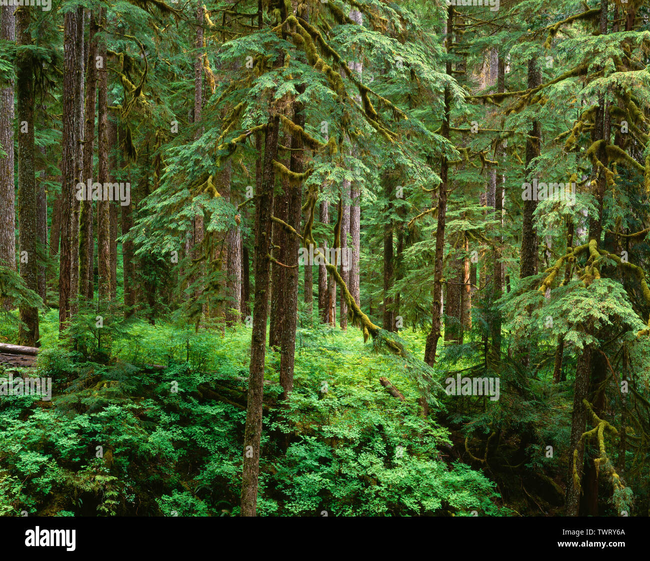 USA, Washington, Olympic National Park, Old growth forest of western hemlock (Tsuga heterophylla) in Sol Duc Valley. Stock Photo