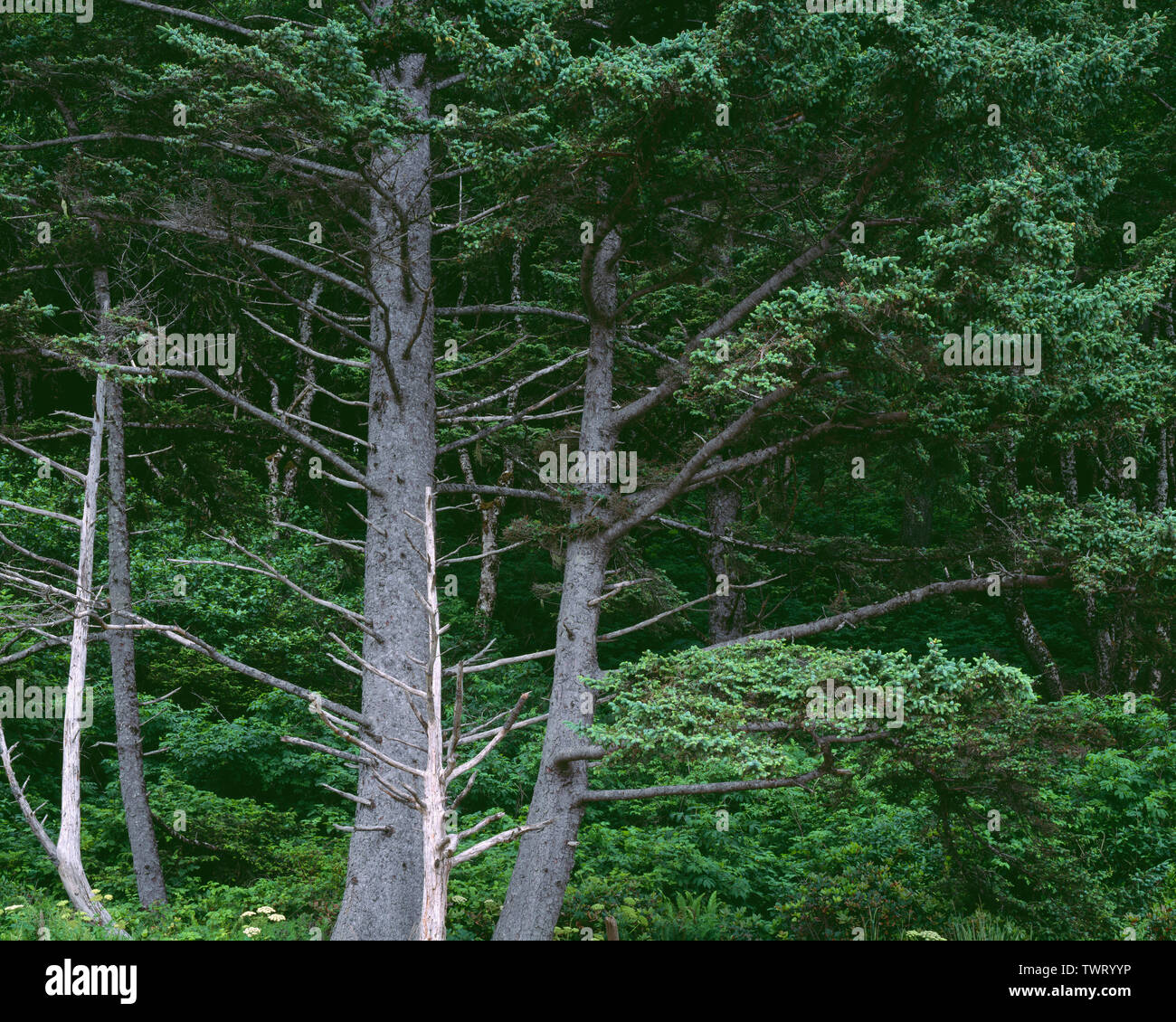 USA, Washington, Olympic National Park, Ocean facing forest of Sitka spruce growing above high tide line at Rialto Beach. Stock Photo