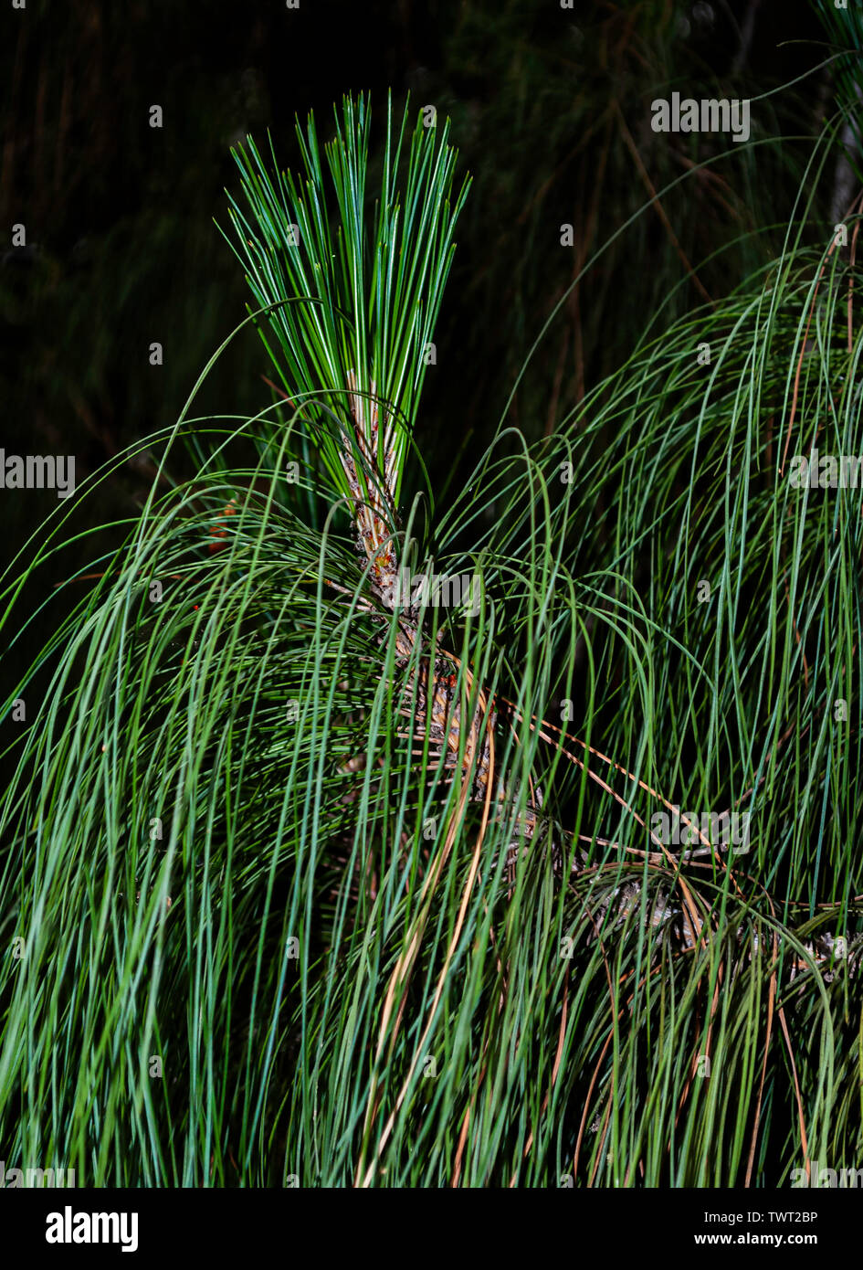 closeup of the end of a branch of longleaf pine showing new growth and long gracefully drooping needles on a nearly black background - Stock Image