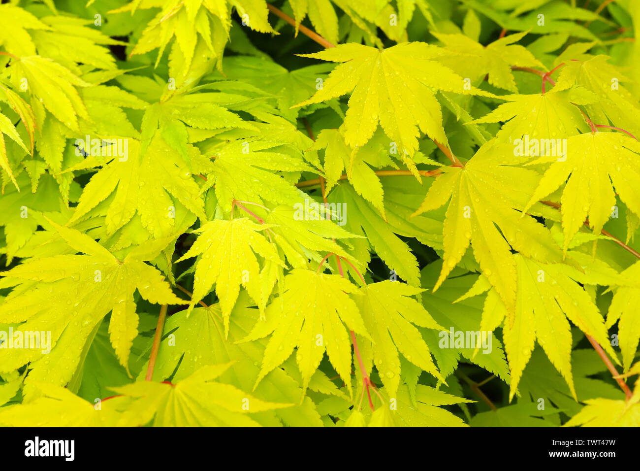 Close Up Detail Of Fresh Lime Green Leaves On My Japanese Maple