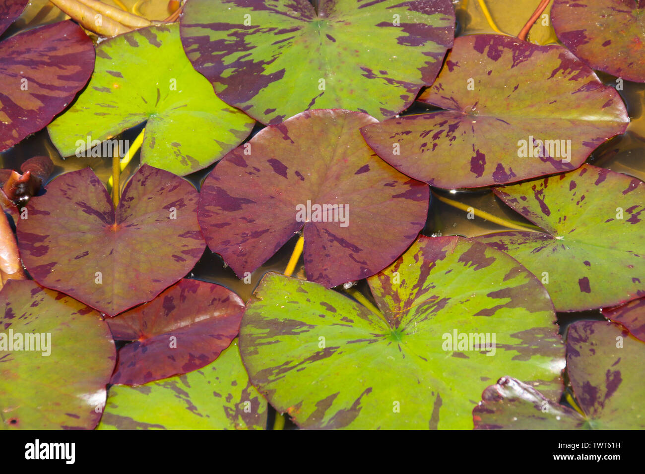 An abstract natural background of brown, red and green variegated lily leaves floating on the surface of the water in a pond Stock Photo