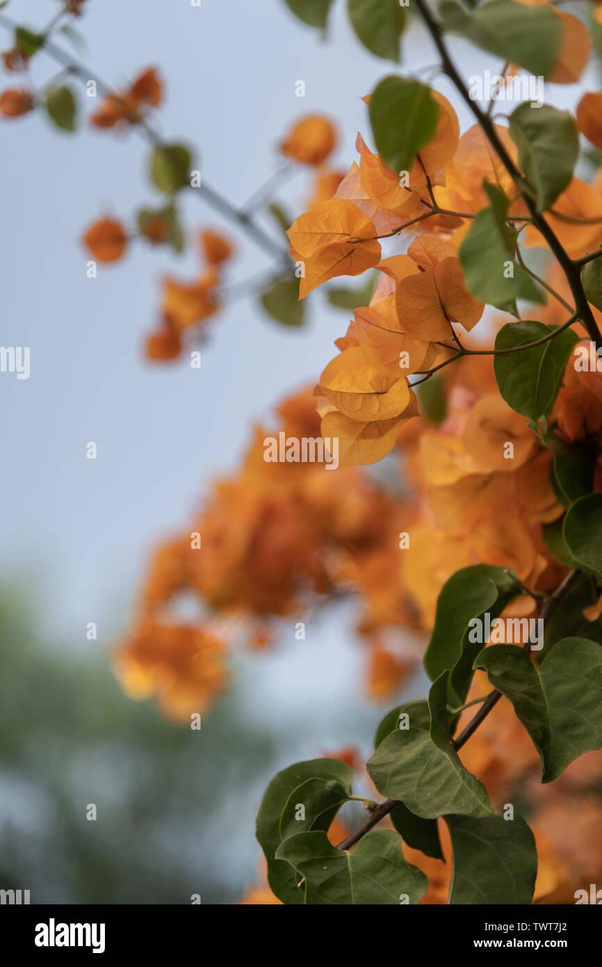 Bougainvillea-Blüten - Stock Image