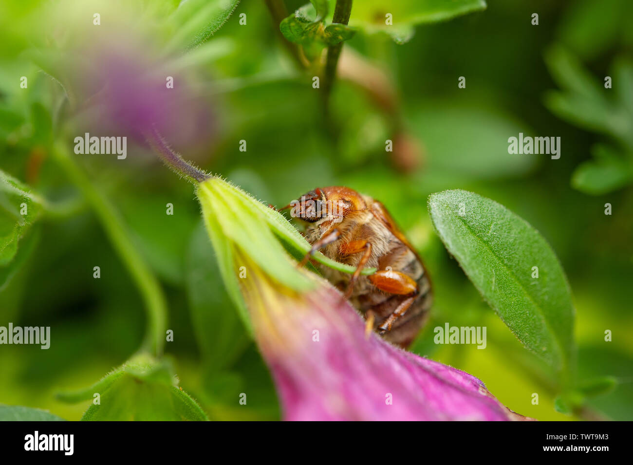 Summer chafer in green leaves. European june beetle on flower. - Stock Image