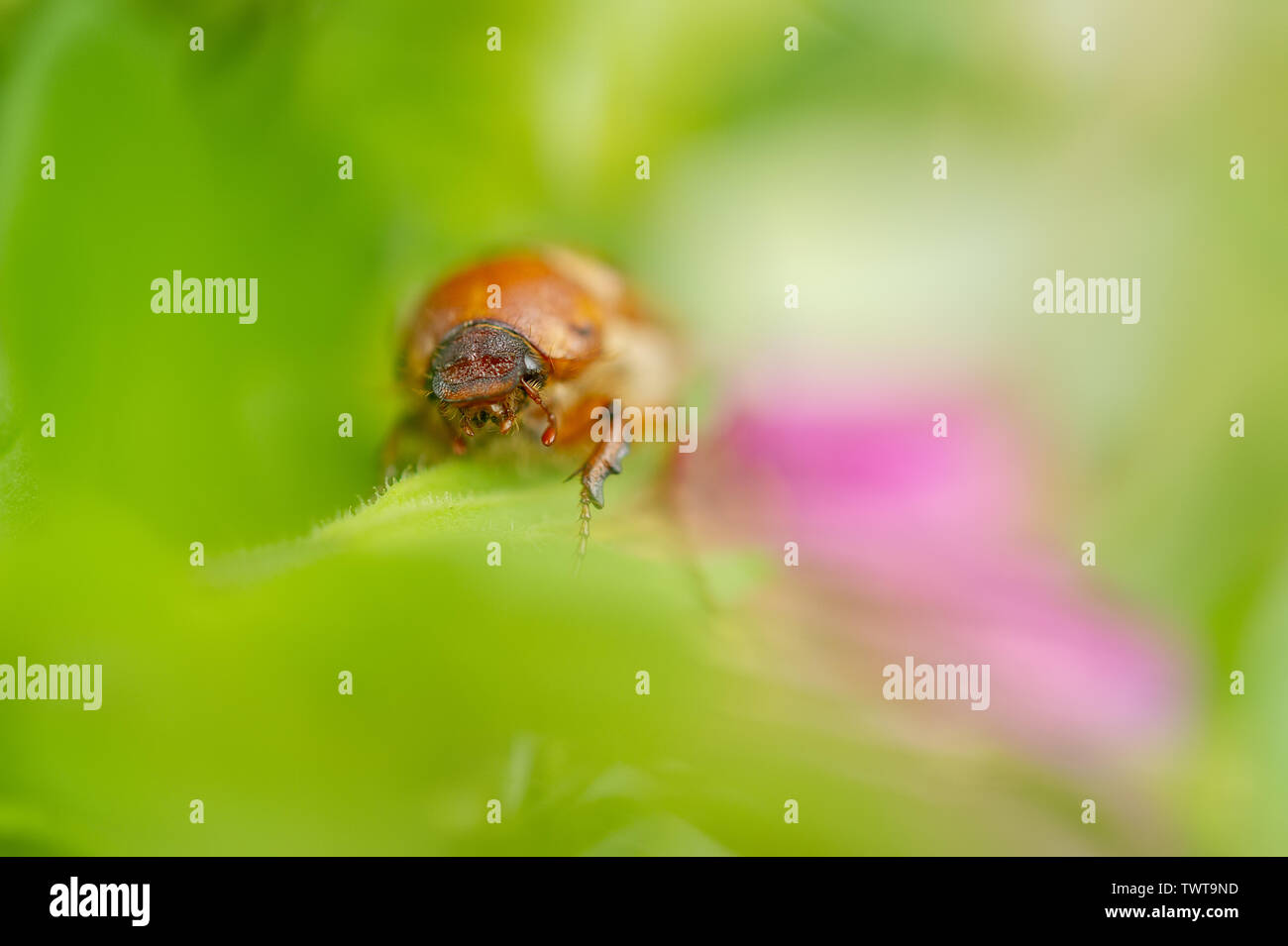 European june beetle on flower. Summer chafer in green leaves. Amphimallon solstitiale. - Stock Image
