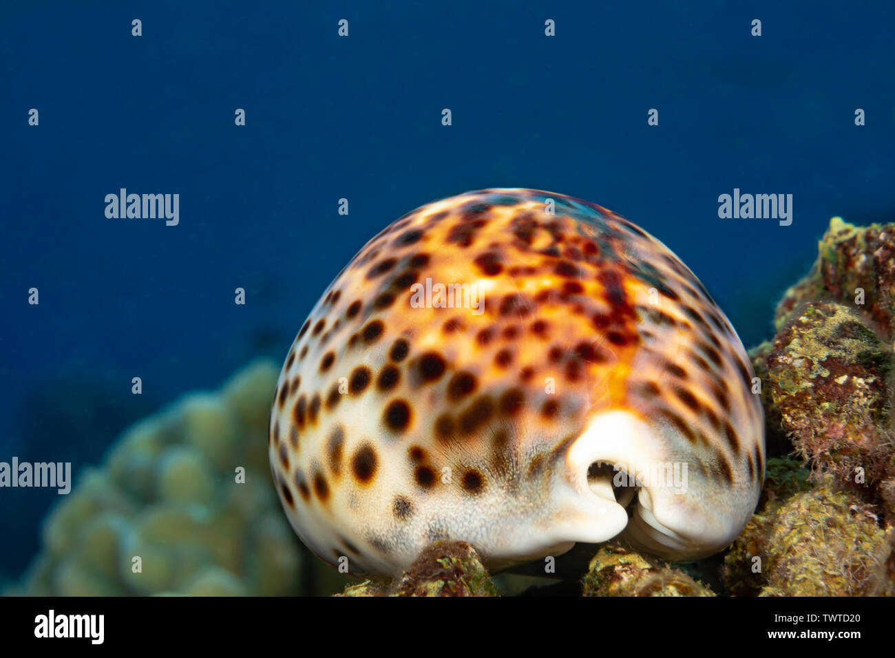 The tiger cowry, Cypraea tigris, is one of the larger and more common cowries in Hawaii. - Stock Image