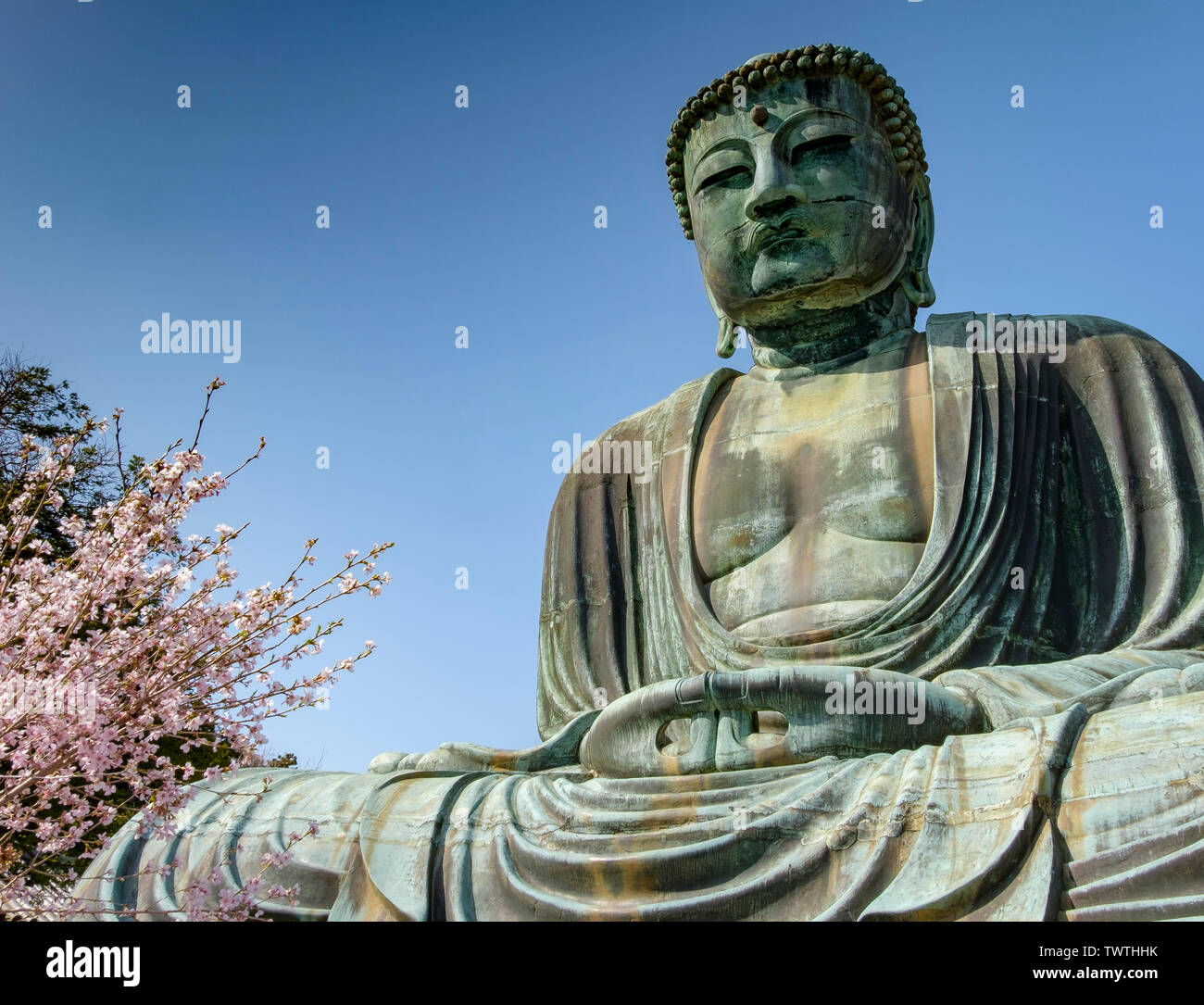 Full body of The Great Buddha of Kamakura and Cherry Blossom Tree on the side. The sculpture is one of the top things to do in Japan - Stock Image