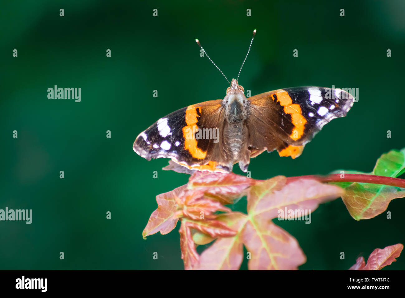 A Painted Lady Butterfly - Stock Image