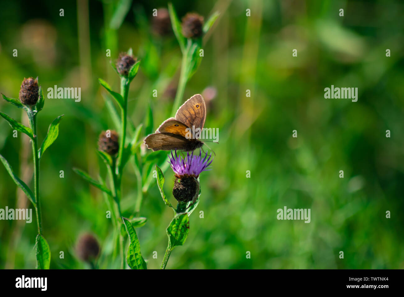 A Small Heath butterfly sits upon a purple Thistle. - Stock Image