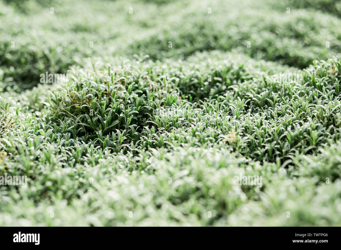 Fresh green grass with dew drops close up. Water driops on the fresh grass after rain. Light morning dew on the green grass. - Stock Image
