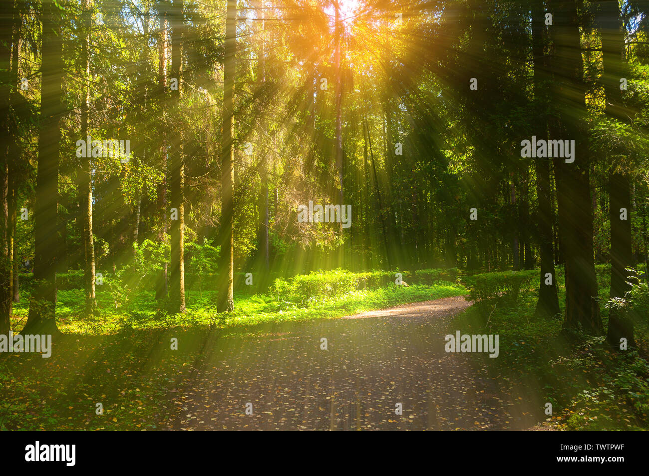 Autumn forest landscape with trees in the forest and fallen autumn leaves on the ground in sunny autumn weather. Sunny autumn forest nature - Stock Image
