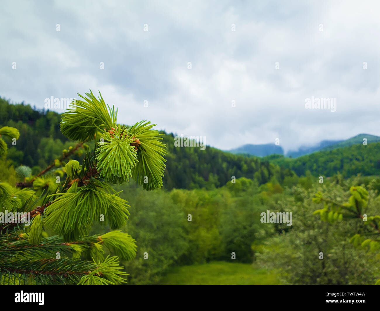 Close up of fir branches with young sprouts buds over the spring mountain background. Coniferous forest on the hills. Fresh green tones landscape. - Stock Image