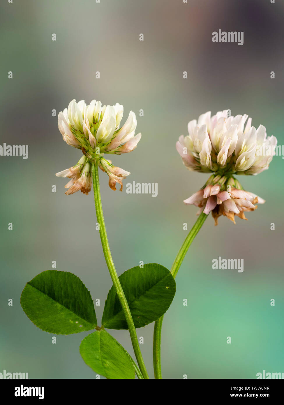 Weed Lawn Stock Photos & Weed Lawn Stock Images - Alamy