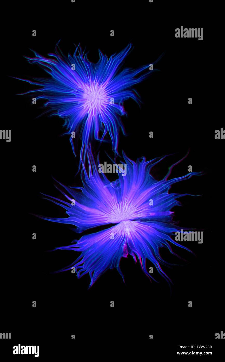 Oleaster,  Elaeagnus angustifolia, scaly hairs darkfield photomicrograph - Stock Image