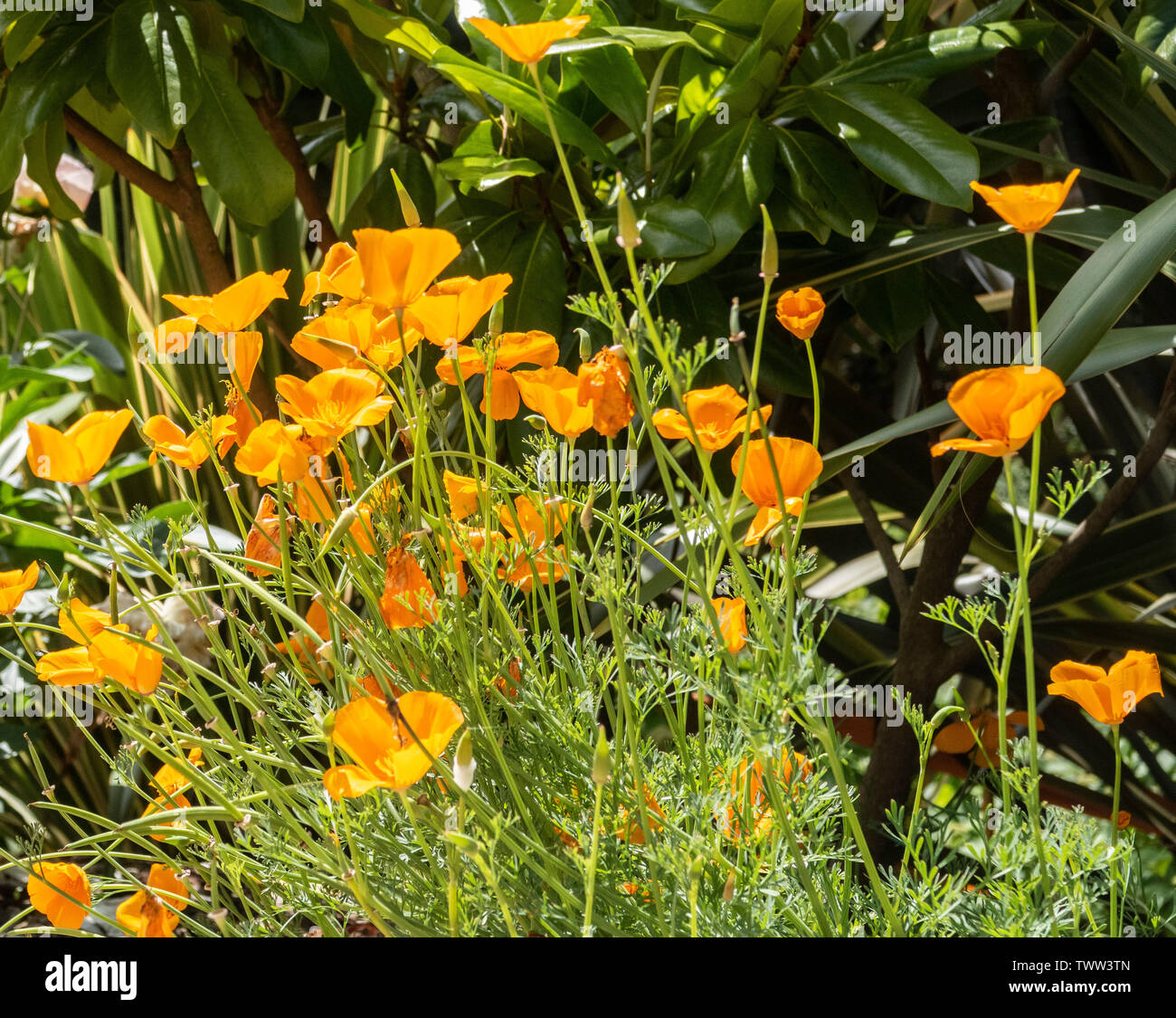 California Poppy 'Mission Bells', Eschscholzia californica, with a phormium behind - Stock Image