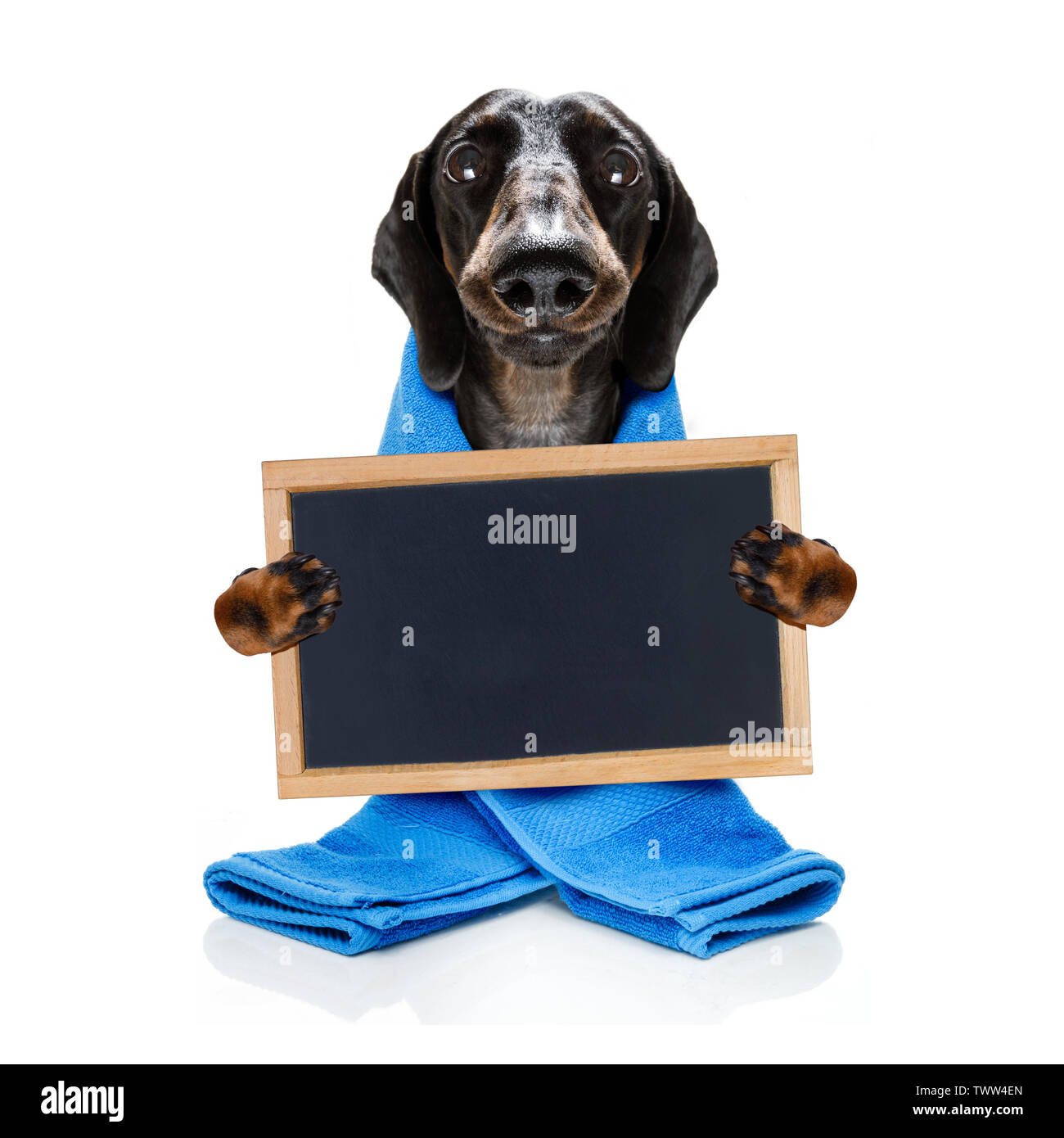 sausage dachshund dog  in a bathtub under shower not so amused about that ,wearing a  towel or bathrobe or towel dressing gown - Stock Image