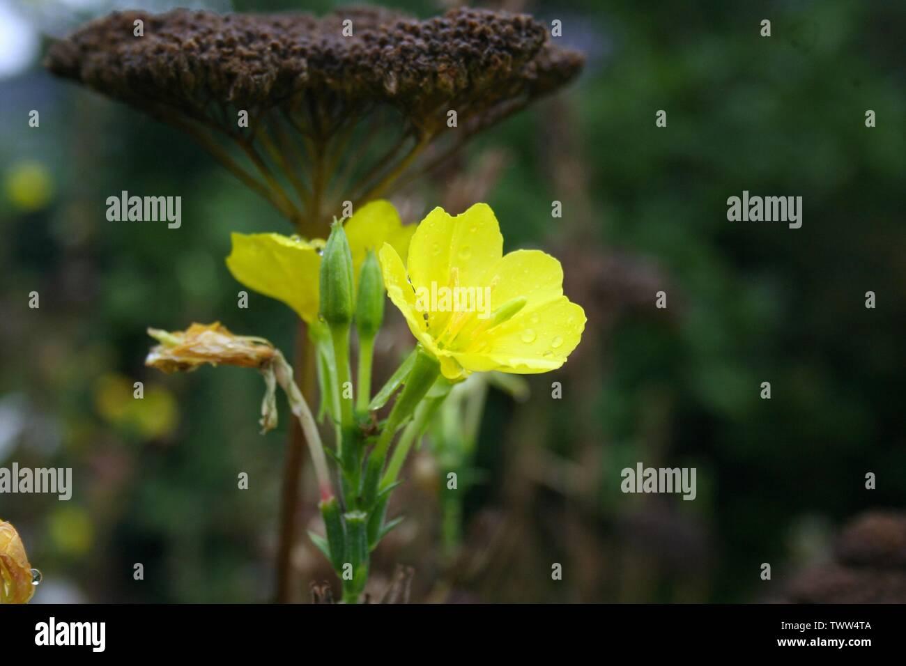 Macro Aufnahme einer gelben Blume Stock Photo