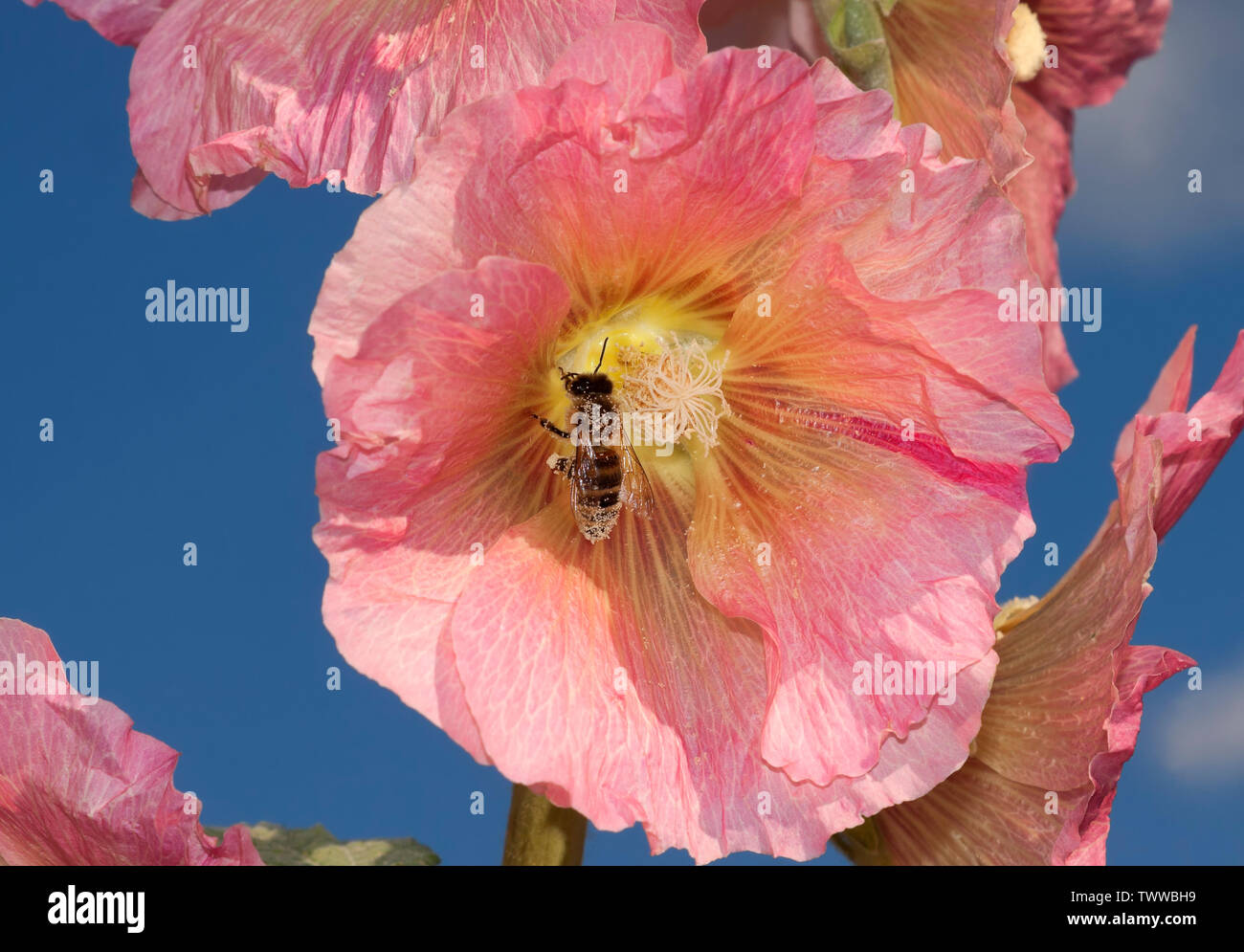 Alcea rosea and a honey bee, the common hollyhock, an ornamental plant in the family Malvaceae Stock Photo