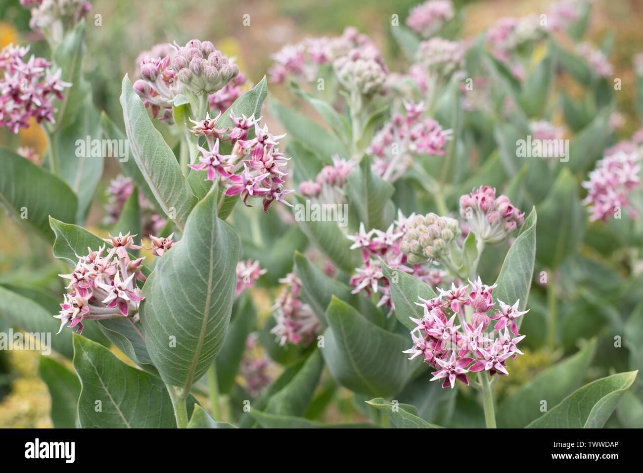 Asclepias speciosa 'Showy Milkweed' flowers. - Stock Image