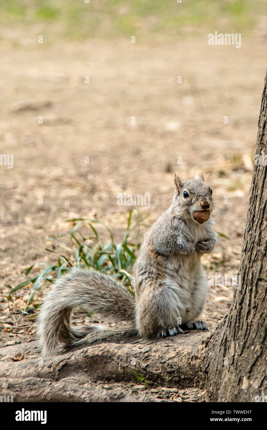Eastern Grey Squirrel, Sciurus carolinensis, with a huge nut, biting off more than he can chew, in Washington Square Park, New York City - Stock Image