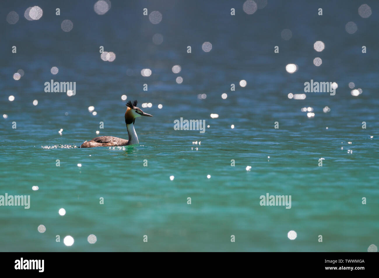 Great Crested Grebe (Podiceps cristatus) swimming. Eibsee. Garmisch-Partenkirchen. Upper Bavaria. Germany. - Stock Image