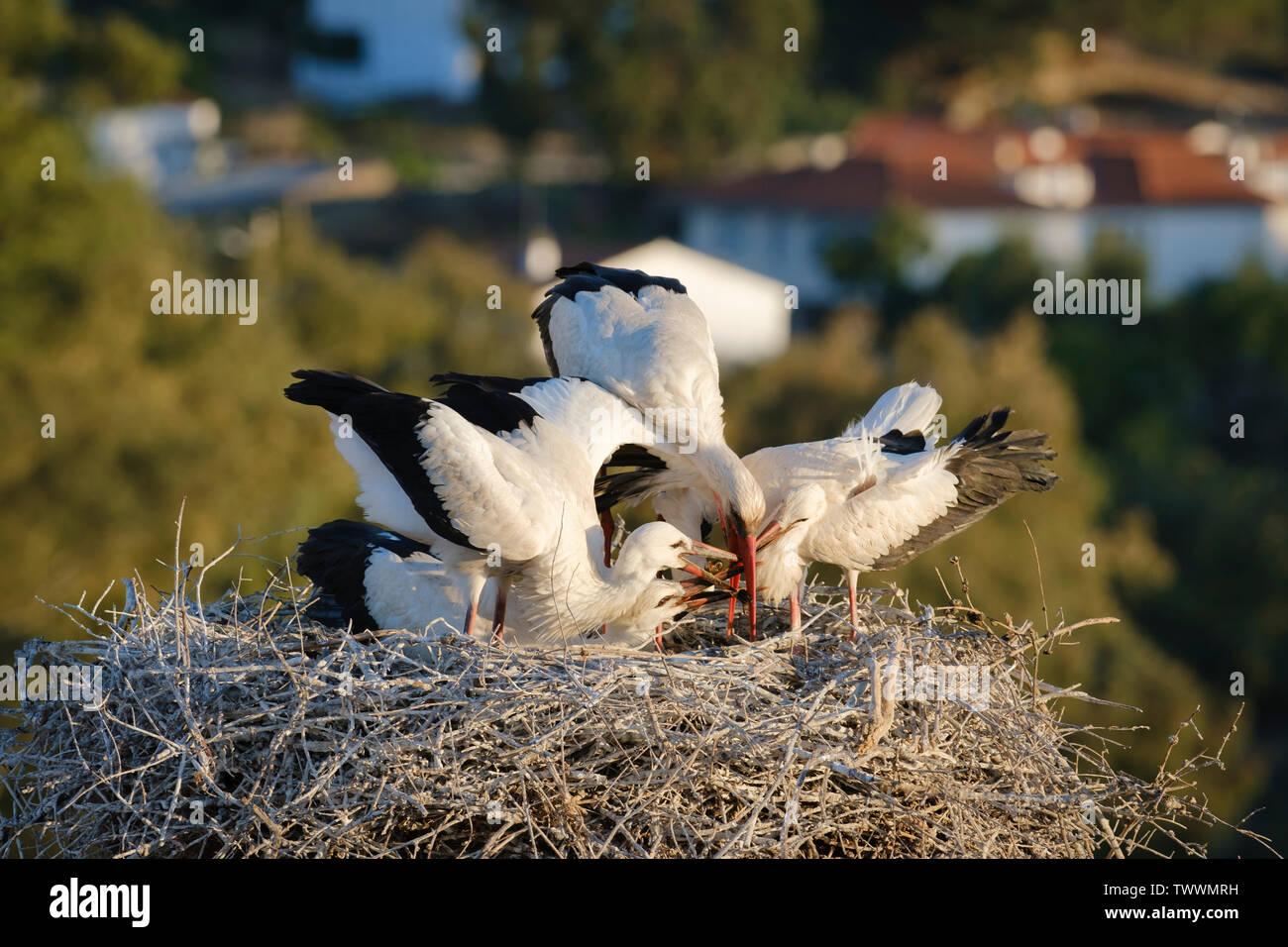 White stork (Ciconia ciconia) feeding three chicks. Valencia de Alcantara. Extremadura. Spain. Stock Photo
