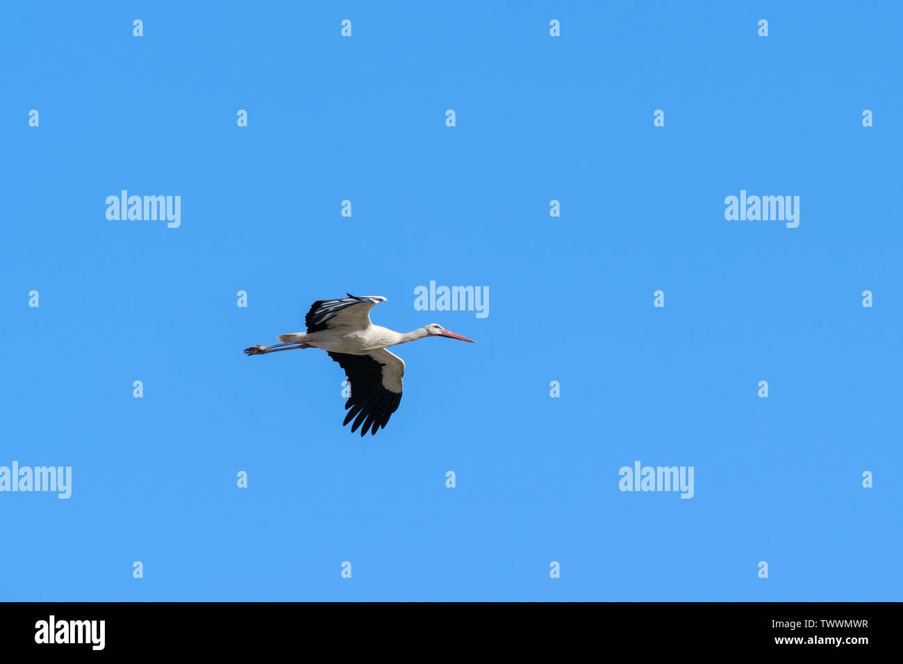 White stork (Ciconia ciconia) in flight. Extremadura. Spain. Stock Photo