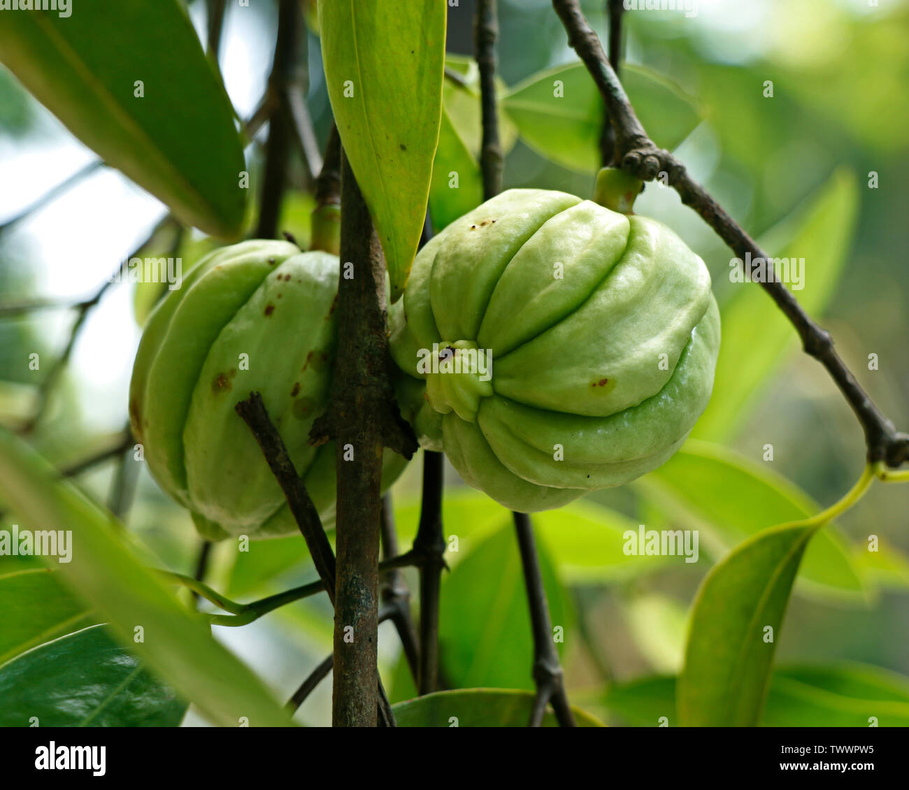 Garcinia Gummi Gutta Is A Tropical Species Of Garcinia Native To Indonesia Common Names Include Garcinia Cambogia As Well As Brindleberry Malabar T Stock Photo Alamy