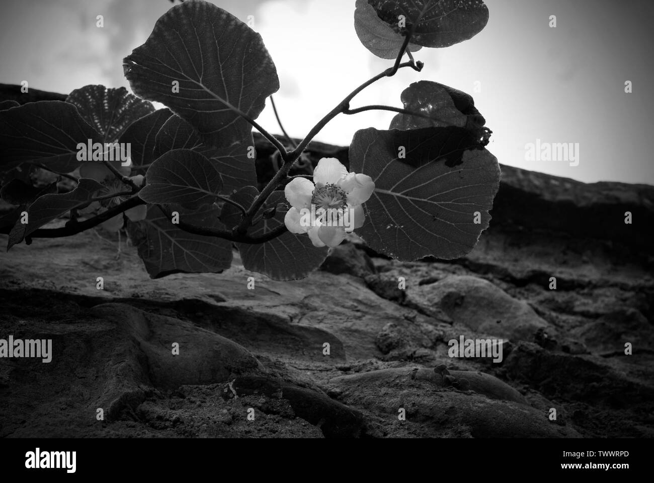 Kiwi flower blooming near to a stones wall on the blue sky with clouds background. Black and white photo with kiwi flower - Stock Image