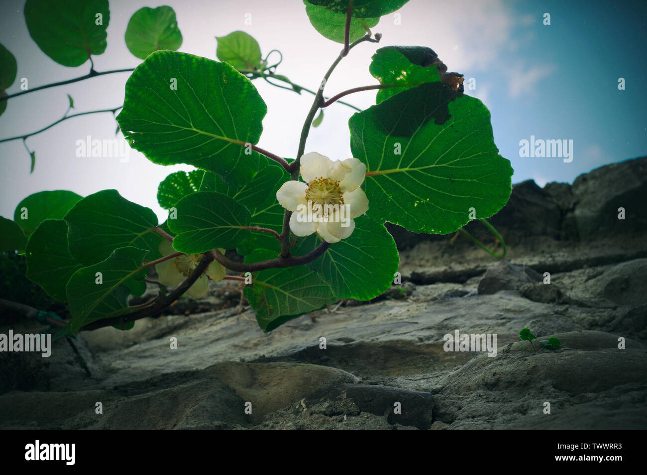 Kiwi flower blooming near to a stones wall on the blue sky with clouds background. Kiwi tree growing in the city, decoration of old town - Stock Image
