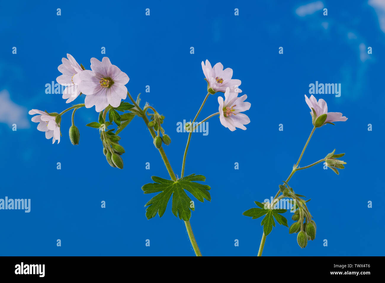 White flowering cranesbills. Blooms, buds green hairy leaves and stems. Geranium pyrenaicum. Detail of wild meadow herb blossom on blue sky background. - Stock Image