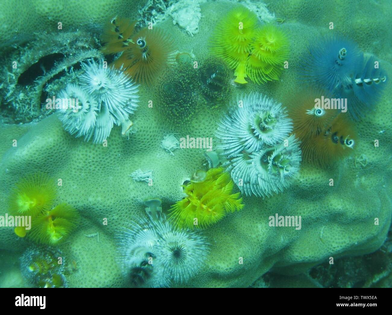 'English: Christmas Tree Worm (Spirobranchus giganteus) from the South China Sea.; Transferred from en.wikipedia to Commons.; Lepidlizard at English Wikipedia; ' - Stock Image
