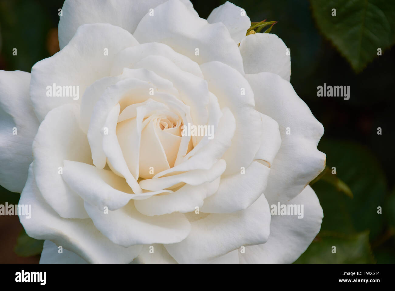 close up of white colored rose with the name: Anna von Kiew - Stock Image