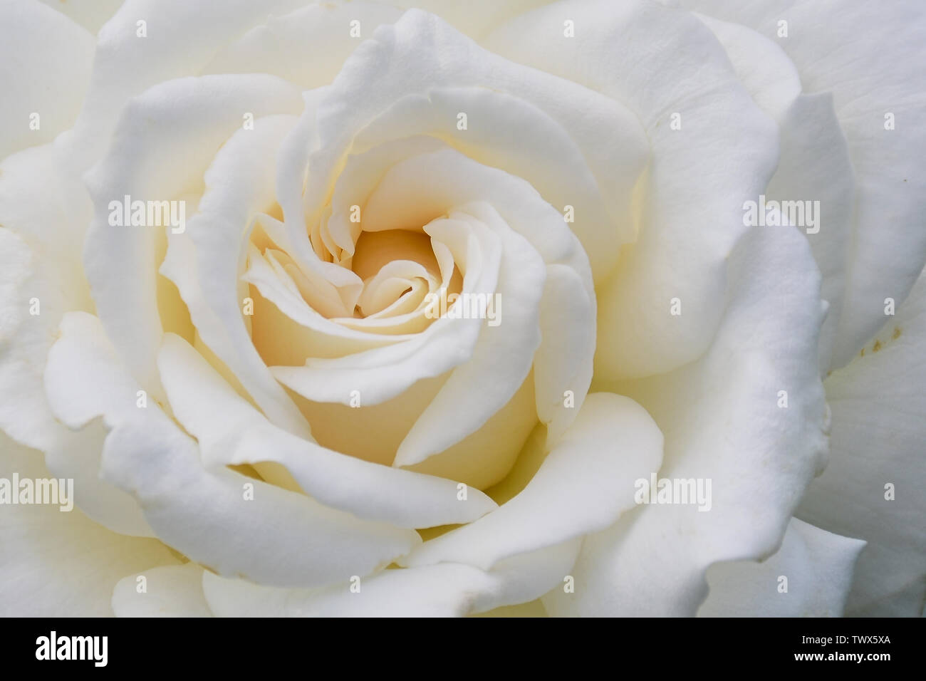 close up of white colored rose with the name: Anna von Kiew, frame filling - Stock Image