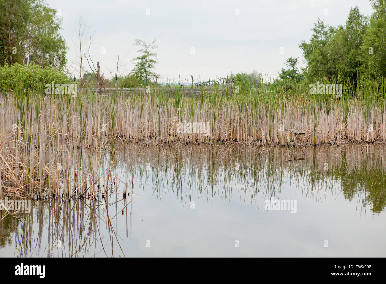 Burnt plants on the shore of a small lake. Dry reeds on the pond. Reeds after the fire. - Stock Image