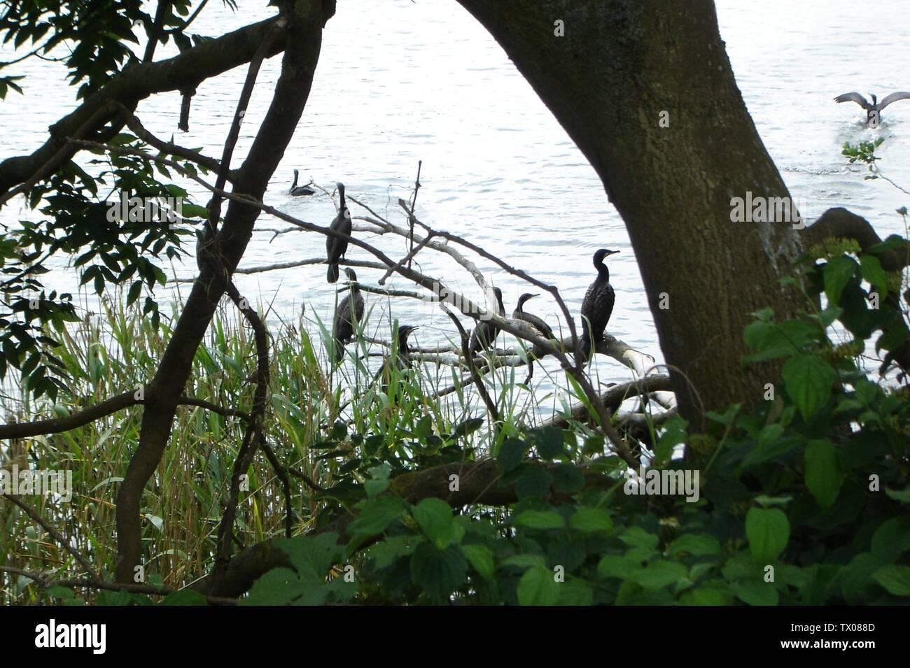 'Deutsch: Kormorane auf dem Bolzer See im gleichnamigen Naturschutzgebiet (Landkreis Parchim, Mecklenburg-Vorpommern).; 1 July 2010; Own work; Botaurus; ' - Stock Image