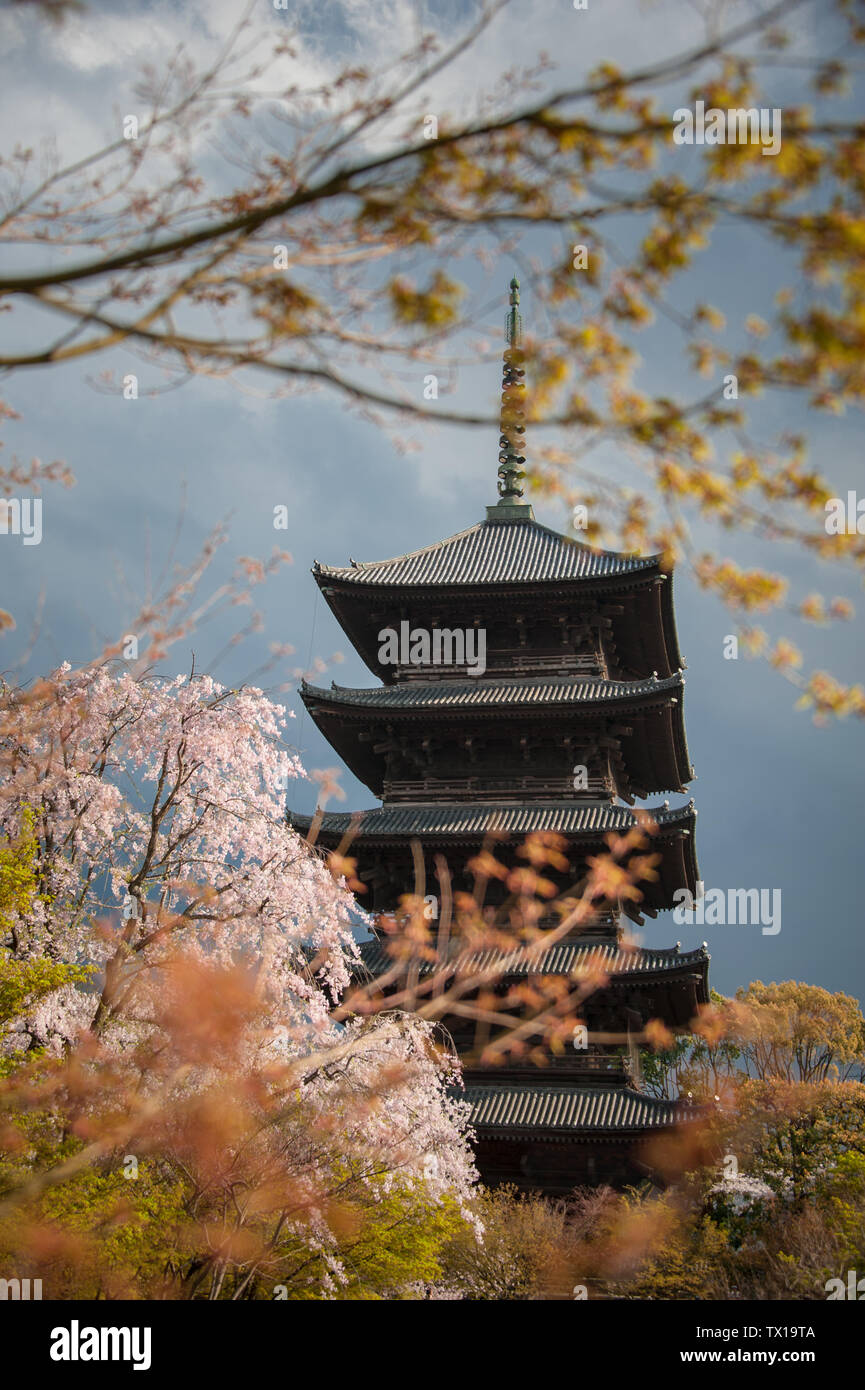 Cherry Blossom Trees in front of Pagoda building. Springtime at the Toji Temple in Kyoto with dark, mood sky background Stock Photo